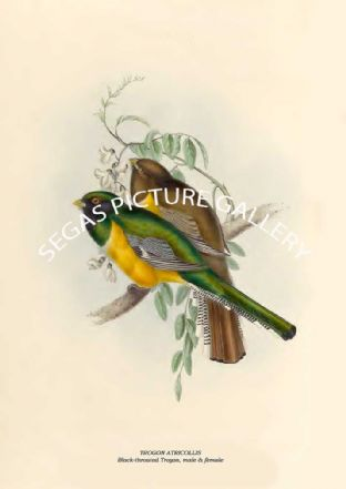 TROGON ATRICOLLIS - Black-throated Trogon, male & female